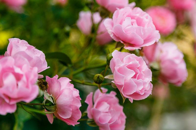 English roses - english garden ideas